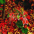 Autumn Foliage  by Carol F Austin