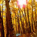 Colorado Aspen Gold 3 by Diane M  Dittus