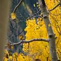 Colorado Aspen In Fall by Jeff White