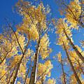 Colorado Aspen by Jerry McElroy