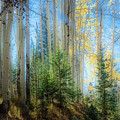 Colorado Aspens by Gayne Dorio