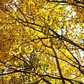 Colorado Aspens In Fall by Amy McDaniel
