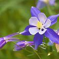 Colorado Blooming Blue Columbines - Watercolor by Teri Virbickis