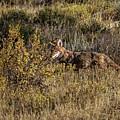 Colorado Coyote by Ronald Lutz