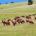 Colorado Elk Herd by Steve Krull