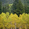 Colorado Golden Aspens by Brent Parks