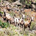 Colorado Mountain Sheep by Rupert Chambers