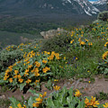 Colorado Spring Wildflower And Mountain Portrait by Cascade Colors
