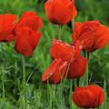 Colorado Wild Poppies by John De Bord