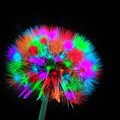 Colored Dandelion by Wolfgang Stocker