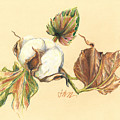 Colored Pencil Cotton Plant by Jacki Kellum