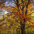 Colorful Autumn Tree In Southwest Michigan By Gun Lake by Randall Nyhof