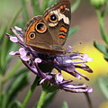 Colorful Butterfly On Daisy by Carol Groenen
