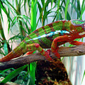 Colorful Chameleon by Nancy Mueller
