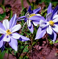 Colorful Columbine by  Jill Myers