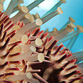 Colorful Crown Of Thorns Starfish by Dave Fleetham - Printscapes
