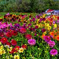 Colorful Dahlias In Garden by Garry Gay