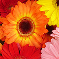 Colorful Gerber Daisies by Amy Vangsgard