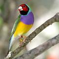 Colorful Gouldian Finch by Sabrina L Ryan
