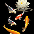 Colorful Koi With Water Lily by Gill Billington