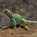 Colorful Lizard by Stephen Whalen
