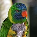 Colorful Lorikeet by Artful Imagery