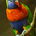 Colorful Lorikeet by Douglas Barnett