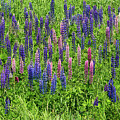 Colorful Lupines by Les Palenik