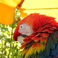 Colorful Macaw-1 by Janet Dickinson
