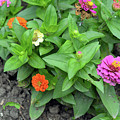 Colorful Pink And Orange Flowers In Green Leaves Bush In The Garden. by Oana Unciuleanu