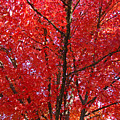 Colorful Red Orange Fall Tree Leaves Art Prints Autumn by Baslee Troutman
