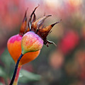 Colorful Rose Hips by Rona Black