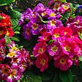 Colorful Spring Primrose By Kaye Menner by Kaye Menner
