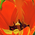 Colorful Tulip by Alan Raasch