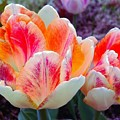 Colorful Tulips by Barbara Griffin