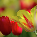 Colorful Tulips by Mark Chandler