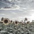 Sunflowers Fields2 by Tod and Cynthia Grubbs