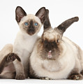 Colorpoint Rabbit And Siamese Kitten by Mark Taylor