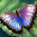 Colors Of Nature - Hunawihr Morpho by Arline Wagner
