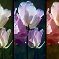 Coloured Tulips by Robert Meanor