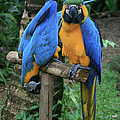 Colourful Macaw Pohakumoa Maui Hawaii by Sharon Mau