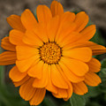 Colourful Orange Signet Marigold  by Brothers Beerens