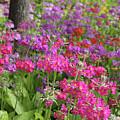 Colourful Primula Candelabra At Wisley Gardens Surrey by Julia Gavin