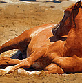 Colt Lying Down by Clarence Alford