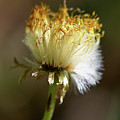 Coltsfoot Bad Hair Day 1 by Jouko Lehto