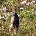 Columbian Ground Squirrel Glacier National Park by Dave Martsolf