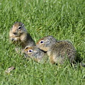 Columbian Ground Squirrels by Ben Upham III