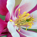 Columbine Flower 2 by Amy Fose