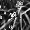 Columbine Flower 2 Black And White by Marina McLain