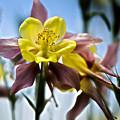 Columbine Flower by Tom Gari Gallery-Three-Photography